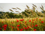 wheat-field-poppy-flowers-wide.jpg